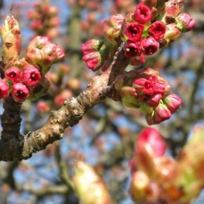 八重桜 PHOTOS